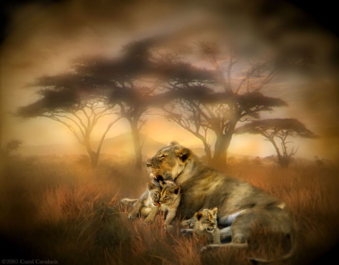 Africa Series New Life Lioness And Her Three Cubs Digital