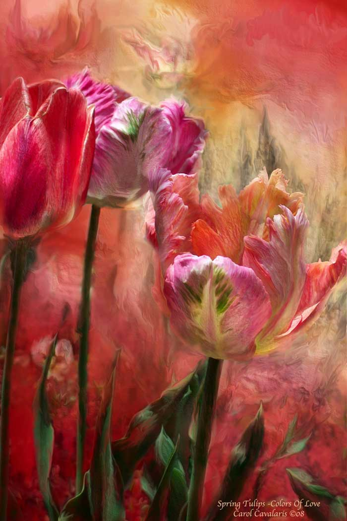 Tulips Color Of Love