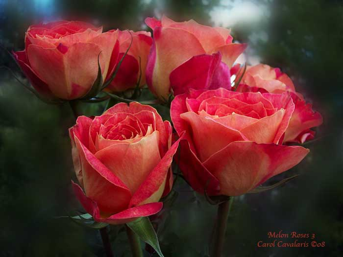 Melon Roses Three