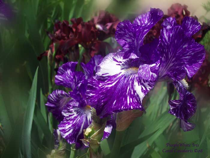 Purple White Iris