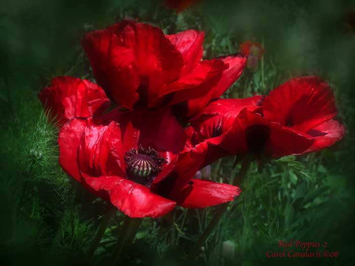 Red Poppies Two