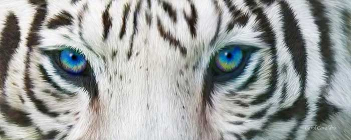 Cobalt Blue Eyed White Tiger