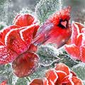 Winter Roses And Cardinals