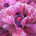 Pink Poppy Splash